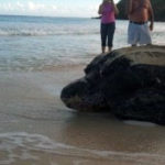 Leatherback Sea Turtles of Puerto Rico